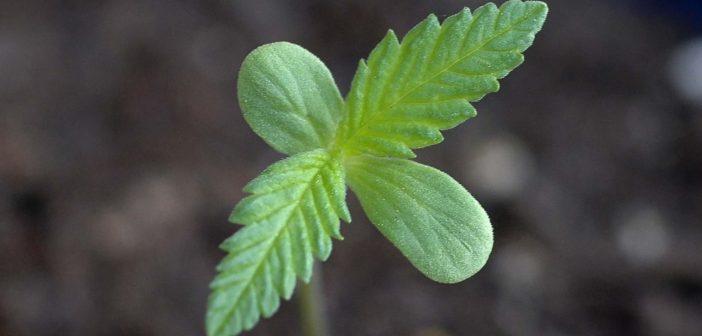 Marijuana Cannabis Seedling