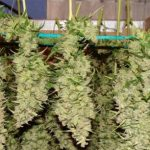 How to Harvest Weed