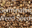 How to Germinate Weed Seeds - 5 Best Way to Germinate Weed Seeds